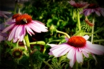 Coneflowers and a Bee