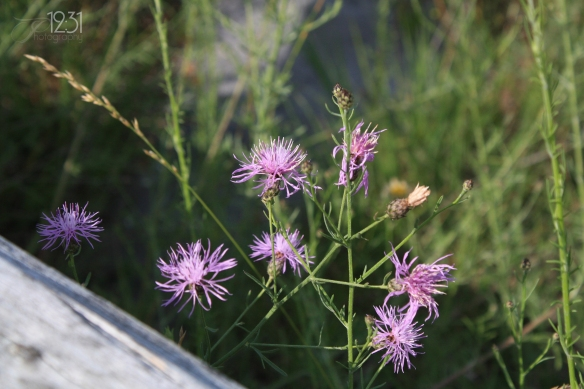 Some of those dusty pink fuzzy flowers along the roadside.